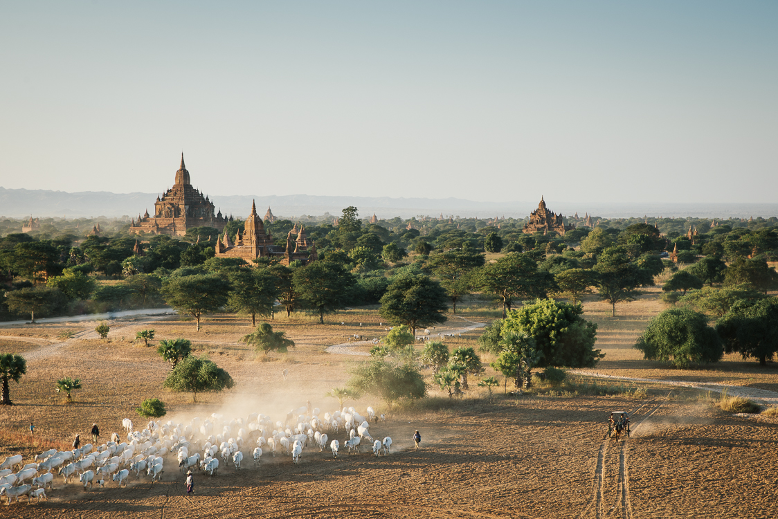 Herd in Bagan