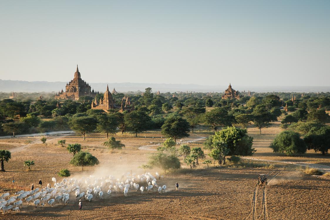 Herd in Bagan