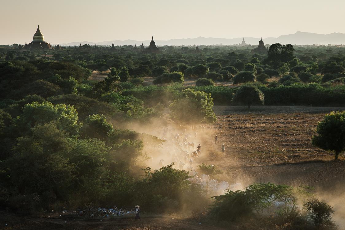 Cows in Bagan