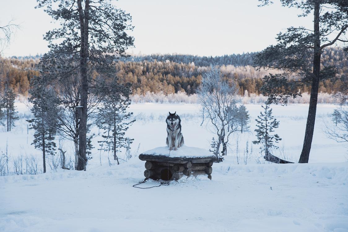 Chien Husky Tinja Alex Laponie