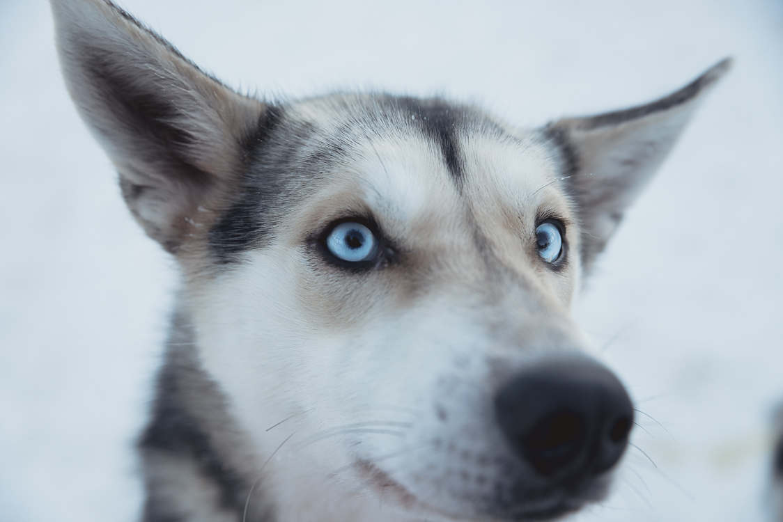 Yeux husky
