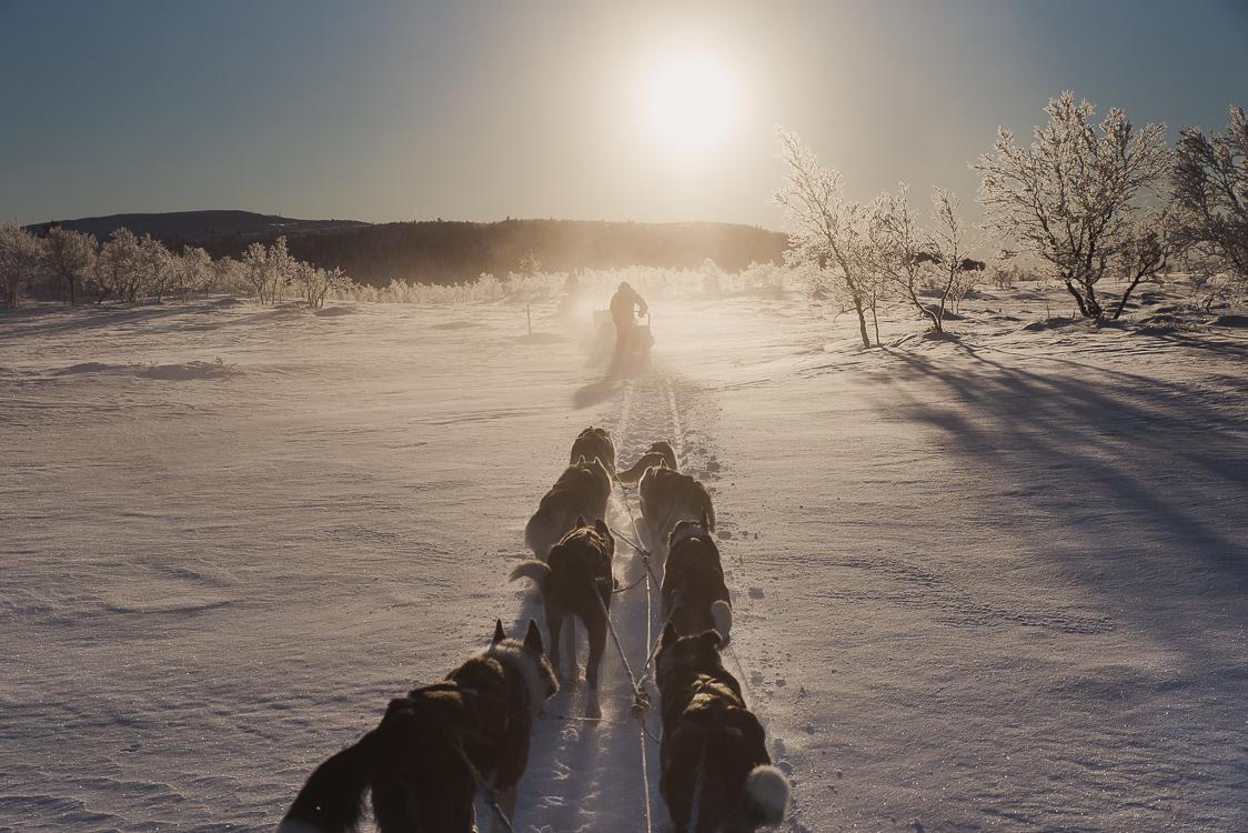 Husky Laponie traineau soleil couchant