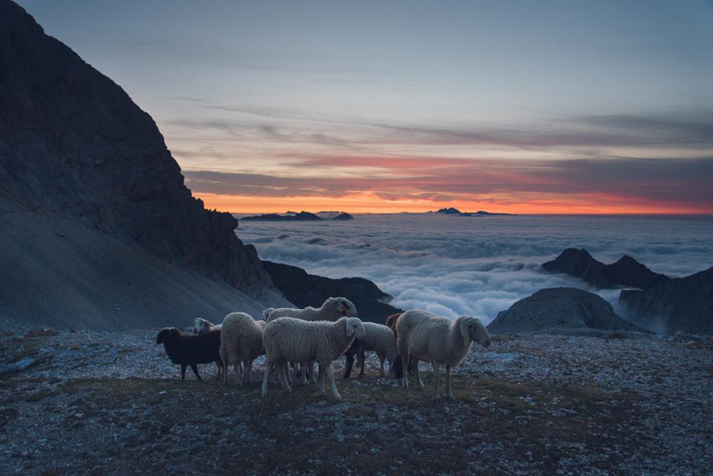 Moutons mont triglav