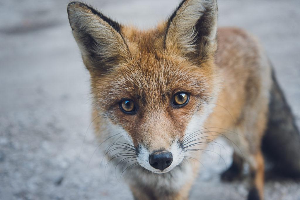 Un renard aperçu à l'orée de la forêt.